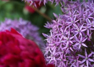 Purple and pink flowers
