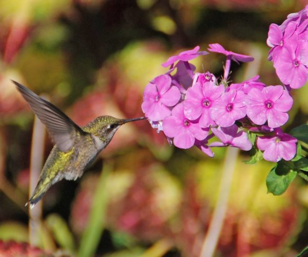 Hummingbird on flower