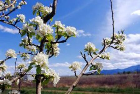 Orchard flowers
