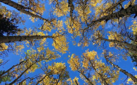 Group of Aspen trees