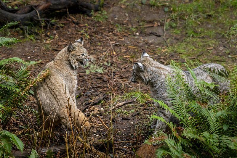 Two bobcats