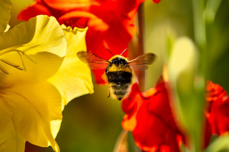 Bumblebee on red flower