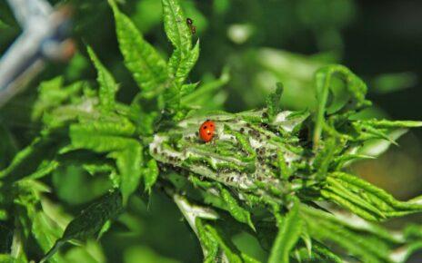 Lady beetle on leaf