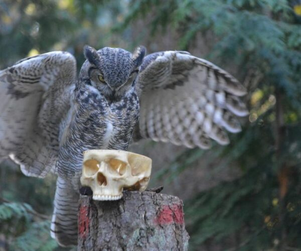 Owl with skull
